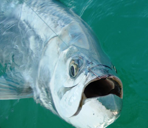Spring Tarpon Is Here