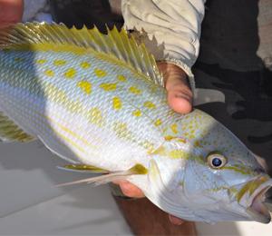 Key West Yellowtail Snapper